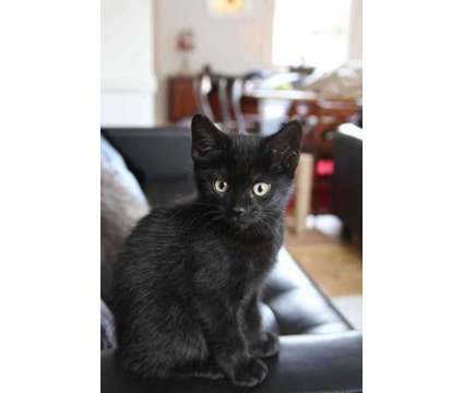 Cute Full On Black Bombay Kittens Ready For A Lovely Home is a Black Male Bombay Young For Sale in New York NY