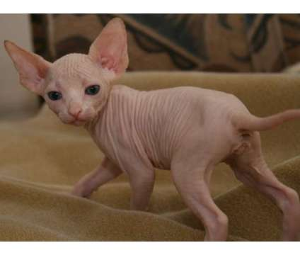 5Beautiful pedigrees Sphynx kittens For Sale is a Male Sphynx Young For Sale in New York NY
