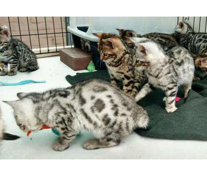 Superb silver spotted and brown spotted Bengal kittens is a Brown, Grey Female Bengal Kitten For Sale in San Jose CA