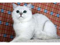 Handsome Silver shaded British Shorthair boy looking for a new home