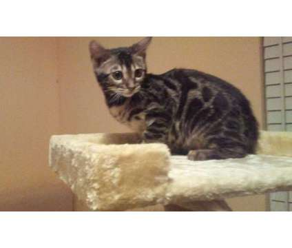 Bengal kitten is a Male Bengal Young in Soddy Daisy TN