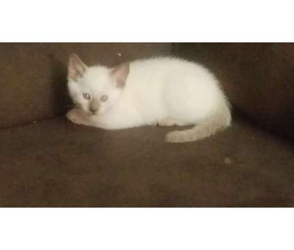 Traditional Siamese pure breed Sealpoint and chocolate point Males and Females is a Female, Male Siamese Kitten For Sale in Astoria NY
