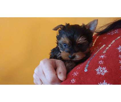 Gorgeous Yorkie Puppies is a Male Yorkshire Terrier Puppy in Knoxville TN