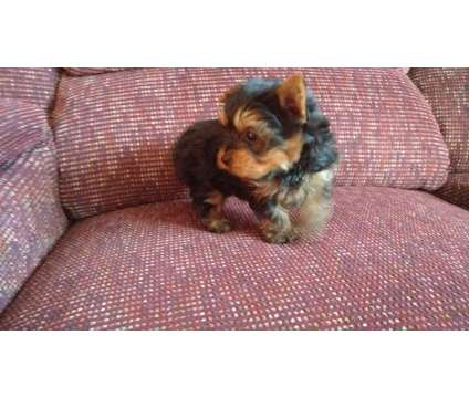 Gorgeous Yorkie Puppies is a Female Yorkshire Terrier Puppy For Sale in Knoxville TN