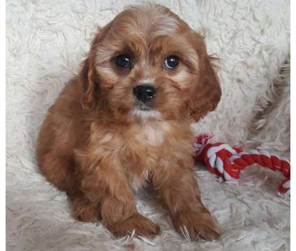 Cavapoo is a Cavapoo Puppy For Sale in Wausau WI