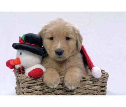 AKC Golden Retriever Puppy Lynn is a Male Golden Retriever Puppy For Sale in Wooster OH