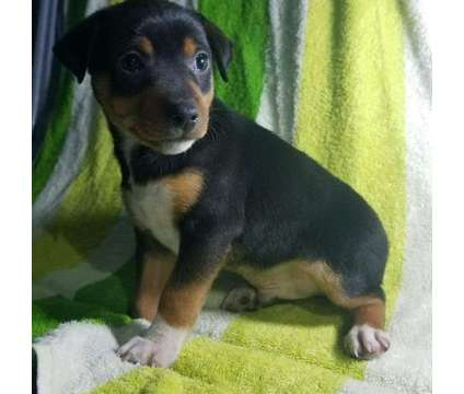 wonderful personality Miniature Pinscher puppies for sale is a Male Miniature Pinscher For Sale in New York NY