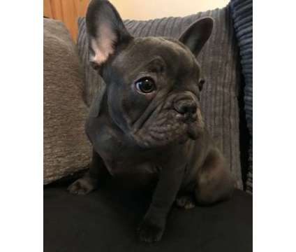 House And Crate Trained Last 3 French Bulldog puppies for sale is a Male French Bulldog For Sale in New York NY