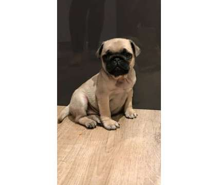 Pure Black And Tan Baby Pugs pupies for sale is a Black, Brown Male Pug For Sale in New York NY