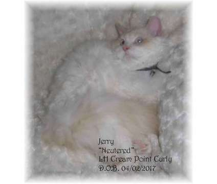 Selkirk Rex Curly Male is a Male Selkirk Rex Young For Sale in Spencerville OH
