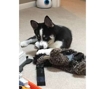 2nd generation pomsky puppy is a Male Puppy For Sale in Bristol IN
