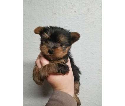 Yorkie Pup male is a Male Yorkshire Terrier Puppy For Sale in Henderson NC