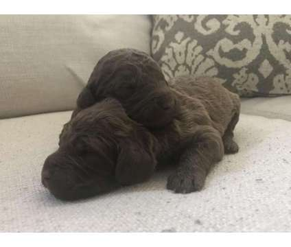 F1b Goldendoodle Puppies - Champion Bloodline is a Female Goldendoodle Puppy For Sale in Athens GA
