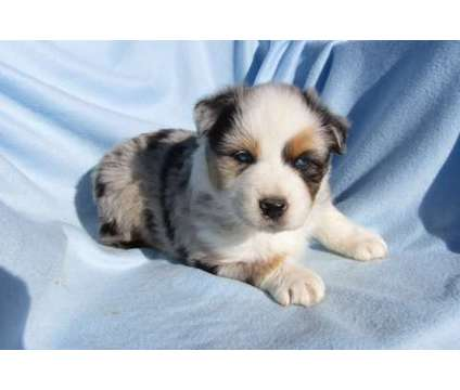 Australian Shepherd Puppy is a Male Australian Shepherd Puppy For Sale in Pahrump NV