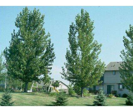 Daisy Girl BARE ROOT Trees- Larger Fast Grow Poplars is a White, Yellow Lawn, Garden & Patios for Sale in Fargo ND