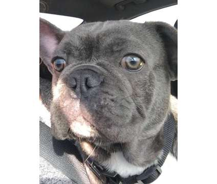 French Bulldog Stud (Blue) is a Blue Male French Bulldog For Sale in Hamilton ON