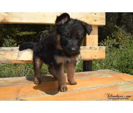 German Shepherd Puppies For Sale is a Male German Shepherd Puppy For Sale in Spokane WA