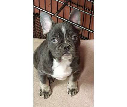 Blue/Tan Male French Bulldog is a Blue, Brown Male French Bulldog For Sale in Sidney IA