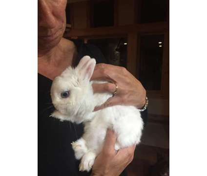 Dwarf Bunny is a Free in Boulder CO
