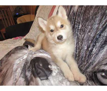 wolf cubs for sale is a For Sale in Eugene OR
