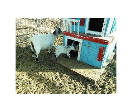 Pgymy Goats is a Male Baby in Los Lunas NM
