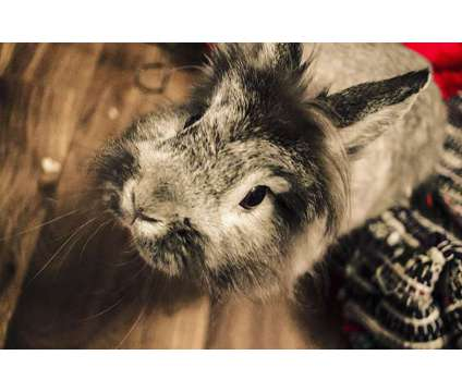 Lionhead rabbit in need of a new home is a Female Free in Orlando FL