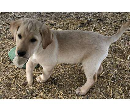 AKC Labrador Retriever Puppies, Yellow Males and a Chocolate Female is a Black Female Labrador Retriever Puppy For Sale in Yakima WA