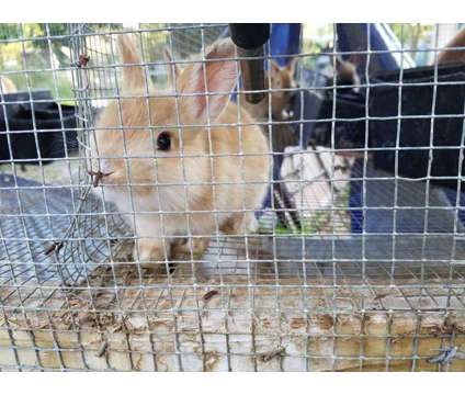 Palomino and Harlequin Rabbits is a Female For Sale in Vero Beach FL