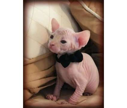 Elf|Sphynx|Bambino|Dwelf is a Male Sphynx Kitten For Sale in Milan IL
