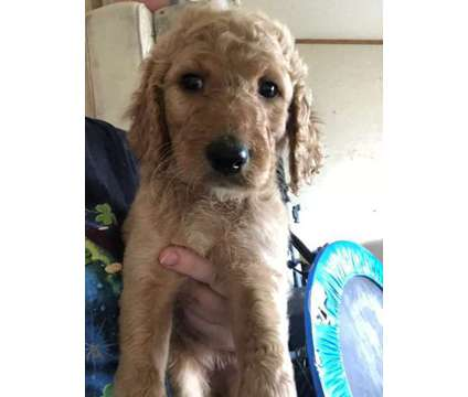 Irish Doodle Puppies is a Female For Sale in Almo KY