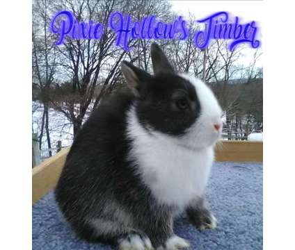 Pixie Hollow's Timber and Pixie Hollow's Shadow is a Male For Sale in Richland PA