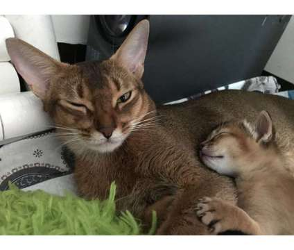 Abyssinian kittens cats TICA registered is a Abyssinian Kitten For Sale in New York NY