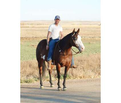Stunning 10 Yr APHA Mare. Well Broke, talented, quiet, gentle family horse is a Female in Denver CO