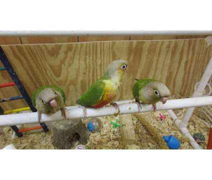 Baby Green Cheeks is a Green Conure Baby For Sale in Corinth NY