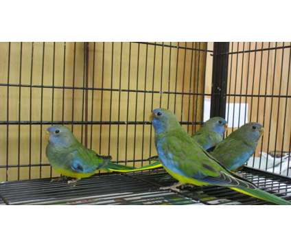 Scarlet Chested Parakeets is a Red Parakeet Baby For Sale in Corinth NY