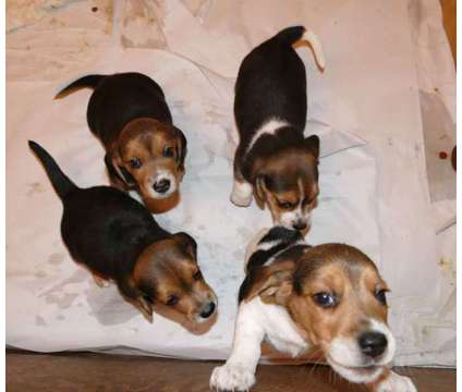 AKC Beagle puppies is a Male Beagle For Sale in Alexandria LA