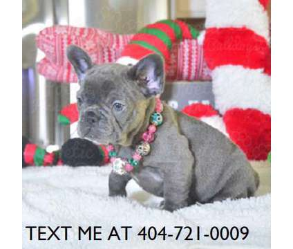 gchbcFHDfgfgtr French Bulldog Puppies is a French Bulldog Puppy For Sale in Brooklyn NY