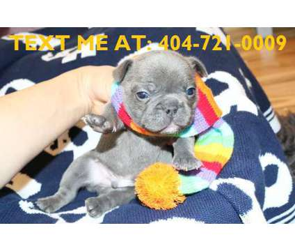 gdfaGDVDCsdvsd French Bulldog Puppies is a French Bulldog Puppy For Sale in Manhattan NY