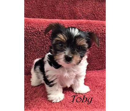Biewer Yorkie male Tiny Toby is a Male Biewer Puppy For Sale in Douglasville GA