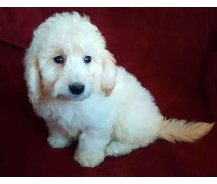 Mini F1B Goldendoodle is a Miniature Goldendoodle Puppy For Sale in Wausau WI