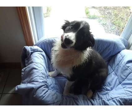 border collies for adoption is a Female Border Collie Puppy For Sale in Schaumburg IL