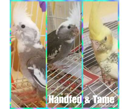 Sweet handfed tame cockatiel is a Cockatiel Baby For Sale in Bakersfield CA