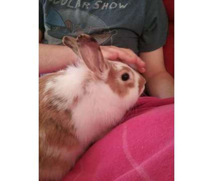 Two 1 year old rabbits is a Female For Sale in Rochester NY