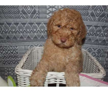 Multi-generational Labradoodle Puppies is a Labradoodle Puppy For Sale in Columbus Grove OH
