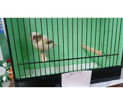 Canary is a Female Canary For Sale in Commerce TX