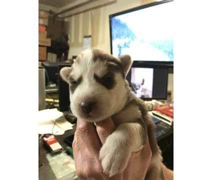 AKC Siberian husky is a Male Siberian Husky Puppy For Sale in Dallas TX