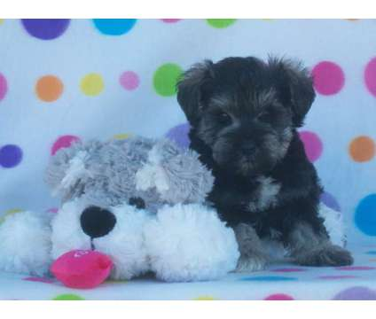 Akc Champion Sired Miniature Schnauzer Puppies B/S-Blk-S/P is a Female Miniature Schnauzer in Pataskala OH