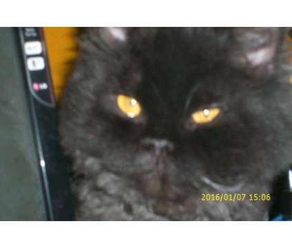 Selkirk Rex is a Male Selkirk Rex Adult For Sale in Indianapolis IN