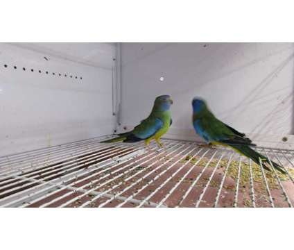 Scarlet chested parakeet pair is a Red Parakeet For Sale in Corinth NY