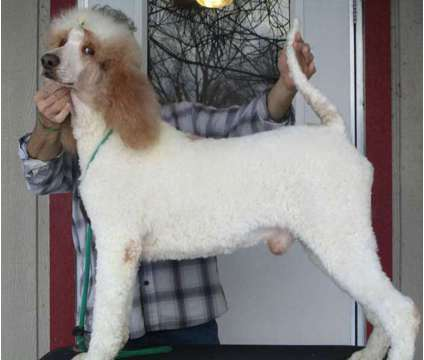 Standard Poodle Stud Only is a Male Poodle For Sale in Raleigh NC